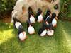 μπομπονιέρες υφασμάτινοι πιγκουίνοι με καρό κορδέλα