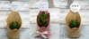 Εικόνα με Μπομπονιέρες παχύφυτα με λινάτσα